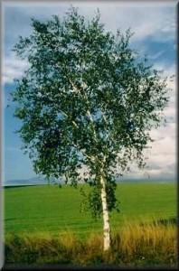 Breza; vir: http://bosnic.com/Slike/691060.jpg